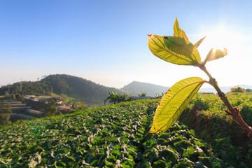 cabbage field and sunshrine