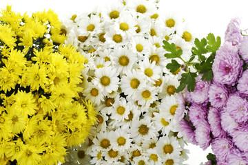 Pinkfarbene, gelbe, weisse Chrysanthemen (Chrysanthemum)