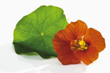 Kapuzinerkresse, Blatt und Blüte