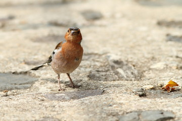male chaffinch on park alley