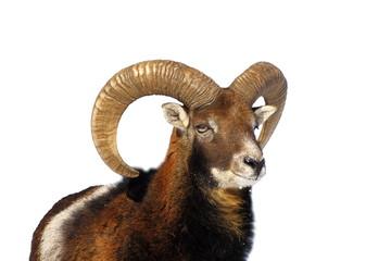 mouflon ram portrait