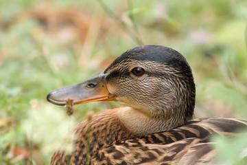 wild female mallard duck