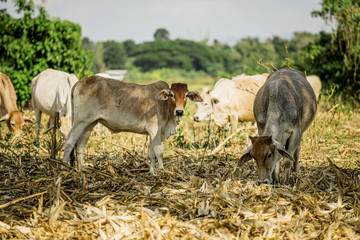 Cow on the harvested field rice in Thailand
