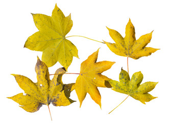 Yellow autumn leaves 6