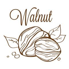 hand drawn vector walnut_01