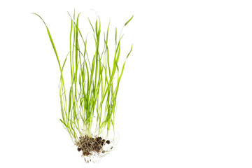 close up of grass with root isolated on white