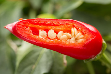 detail of seeds inside chilli plant