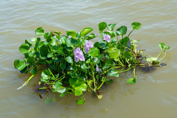 Water hyacinth plant floating on a river