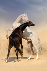 Two achal-teke horses fight on desert dust