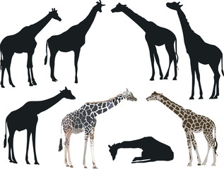 eight giraffes collection isolated on white