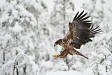 Eagle flying with winter background