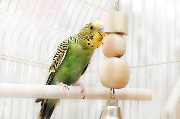 Budgerigar sitting with his toy friend.
