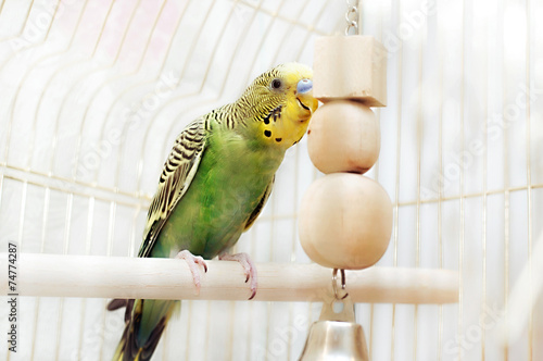 Papiers peints Perroquets Budgerigar sitting with his toy friend.