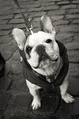 Silly French bulldog looking up in black and white