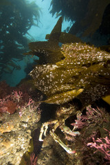 Pacific Ocean Spider Crab hiding under kelp