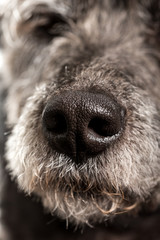 Close up of the wet nose of a dog