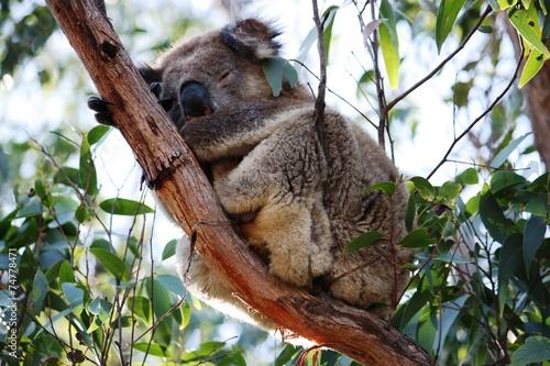 Fotobehang Koala Koala im Eukalyptusbaum - Australien