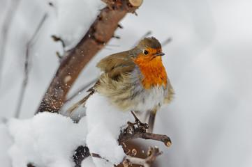 Pettirosso con neve 3