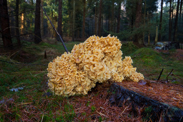 Cauliflower mushroom on tree stump in forest