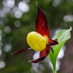 Orchidea, scarpetta di venere 2