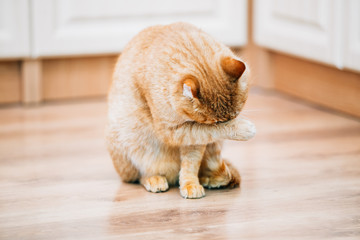 Peaceful Orange Red Tabby Cat Male Kitten Lick Washes Itself