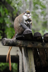 Nursing Monkey