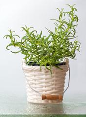 Rosemary herb in a bucket vase