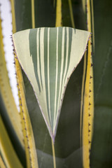 close up view of an agave cactus plant on a garden.