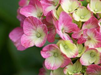 The white and pink .hydrangea macro shot