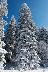 Fir trees covered in snow in winter