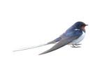 Swallow - 74791894