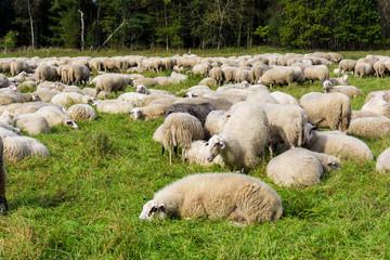 Herd of sheep. sheep grazes on a green field