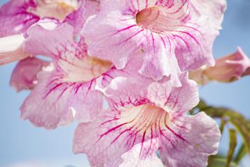 beautiful pink Freesia flowers in the garden.