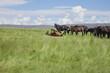Obrazy na płótnie, fototapety, zdjęcia, fotoobrazy drukowane : horse wallowing in green prairie