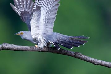 Cuculus canorus, Common Cuckoo