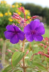 fleur de tibouchine