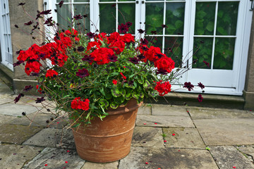 Planter with red geraniums and chocolate cosmos flowers.