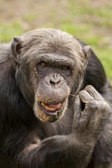 Chimpansee met stokje aan tanden.