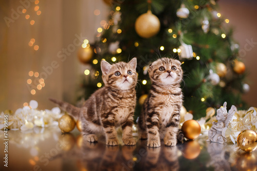British kitten, Christmas and New Year - 74799856