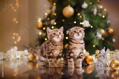 British kitten, Christmas and New Year - 74799856