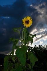 Sonnenblume, Blume, einzelnen Blume, Himmel, Wolke, blau, gelb