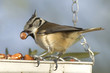Lophophanes cristatus-Mésange huppée-European Crested Tit
