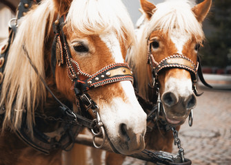 Cavalli con briglie