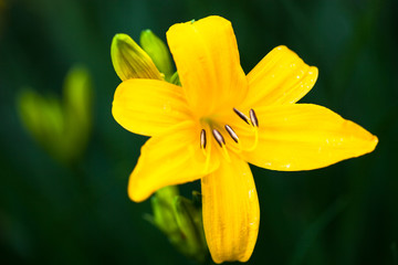Closeup of the blooming yellow lily flower