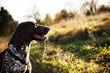 Leinwandbild Motiv hunting dog