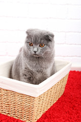 Beautiful British cat in wicker basket