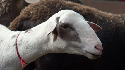 Sheep, Lambs, Livestock, Farm Animals