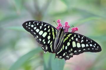 Striped swordtail butterfly - fairchild gardens