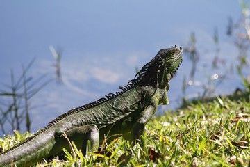 Green Iguana Sunbathing- Fairchild