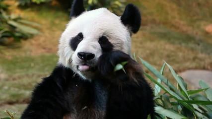 Panda feeding and facing the camera